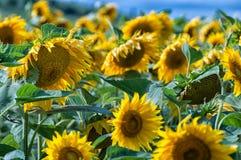 Słoneczniki wyszczególniają z niebem w tle Zdjęcie Royalty Free
