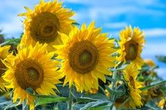 Słoneczniki wyszczególniają z niebem w tle Obrazy Royalty Free