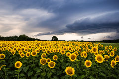 Słoneczniki z burzą Fotografia Stock