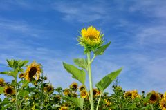 Słoneczniki z wiele niebieskie niebo fotografia stock