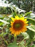 Słoneczniki z zielonymi liśćmi zdjęcie royalty free