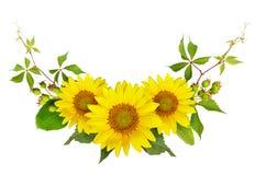 Słoneczniki, zielone jagody i liście dziki winogrono w lecie a, zdjęcia stock