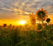 Słonecznikowa ścieżka obrazy royalty free