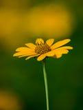 Słonecznikowa światło słoneczne oferta Fotografia Stock