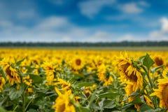Słonecznikowa plantacja Fotografia Royalty Free