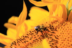 Słonecznikowa pszczoła Zdjęcia Stock