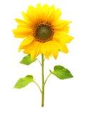 Słonecznikowa roślina odizolowywająca zdjęcia stock