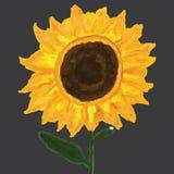Słonecznikowa samotna rosa Zdjęcia Royalty Free