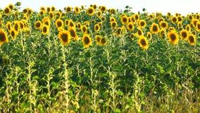 Słonecznikowa uprawa zbiory wideo