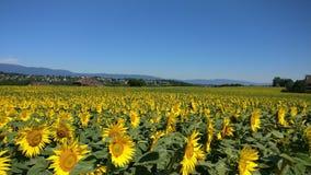 Słonecznikowe łąki Obraz Stock