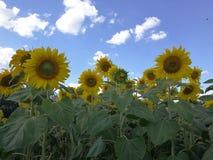 Słonecznikowi słoneczniki w Thailand Fotografia Stock