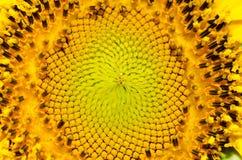 Słonecznikowi ` s szczegóły wśród pollen kolorów i wzorów i są v Obrazy Royalty Free