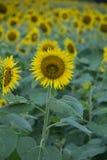 Słonecznikowi tła Zdjęcie Stock