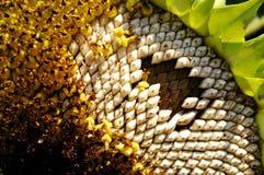 Słonecznikowi Ziarna Obrazy Stock