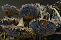Słonecznikowi ziarna na roślinie przy rolniczym przedstawieniem Obraz Stock
