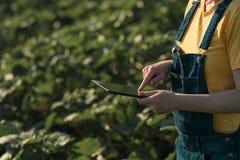 Słonecznikowy średniorolny używa pastylka komputer w uprawy polu przed kwitnąć fotografia stock