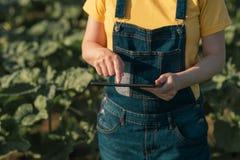 Słonecznikowy średniorolny używa pastylka komputer w uprawy polu przed kwitnąć zdjęcia stock
