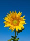 słonecznikowy światło słoneczne Obrazy Royalty Free