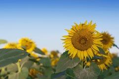 Słonecznikowy żniwo zdjęcia royalty free
