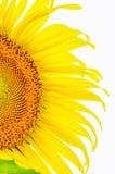 Słonecznikowy części zakończenie up odizolowywający na bielu Zdjęcie Stock