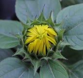 Słonecznikowy czekanie Kwitnąć Obraz Stock