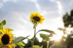 Słonecznikowy dojechanie dla światła Zdjęcie Royalty Free