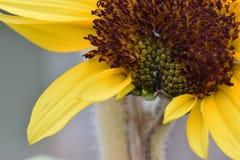 Słonecznikowy Floret Pączkuje Makro- 02 Zdjęcia Royalty Free