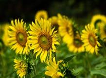 Słonecznikowy i dziki słonecznik Zdjęcia Royalty Free