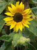słonecznikowy kolor żółty Zdjęcie Stock