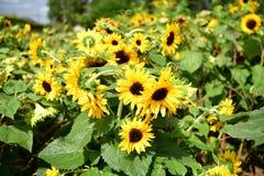 Słonecznikowy Kolorowy kwitnący ogród, kwiatów lato pełność zdjęcie stock