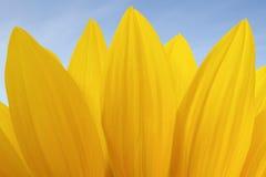 Słonecznikowy kwiat Zdjęcie Royalty Free