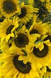 Słonecznikowy kwiat z pracownik pszczołą obrazy royalty free