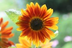 Słonecznikowy kwiat zaświecający od behind Obrazy Royalty Free
