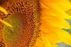 Słonecznikowy kwiatu zbliżenie Zdjęcia Stock