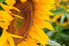 Słonecznikowy kwiatu zbliżenie Obraz Royalty Free