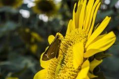 Słonecznikowy kwiatu zbliżenie z motylem obrazy stock