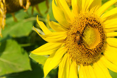 Słonecznikowy kwitnąć Obrazy Royalty Free