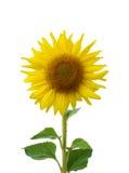 Słonecznikowy kwitnąć odizolowywa Fotografia Stock