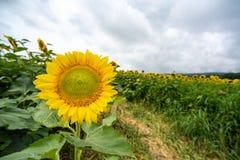 Słonecznikowy kwitnienie przed słonecznika polem fotografia stock