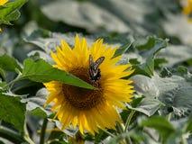 Słonecznikowy kwitnienie w lat polach obraz stock