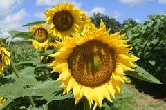 Słonecznikowy labirynt przy cukierki polem uprawia ziemię w Masaryktown, Floryda Obraz Stock