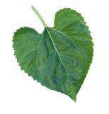 Słonecznikowy liść w Białym tle Fotografia Stock