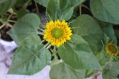Słonecznikowy naturalny tło, Słonecznikowy kwitnienie Zdjęcia Stock