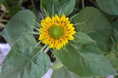 Słonecznikowy naturalny tło, Słonecznikowy kwitnienie Obrazy Royalty Free