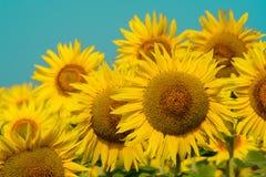 Słonecznikowy naturalny tło, Słonecznikowy kwitnienie, Słonecznikowy olej ulepsza skór zdrowie i promuje komórki odzyskiwanie Fotografia Royalty Free