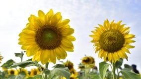 Słonecznikowy okwitnięcie Zdjęcia Royalty Free