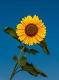 Słonecznikowy okwitnięcie Zdjęcia Stock