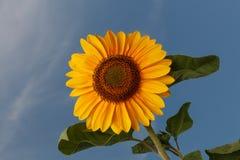 Słonecznikowy okwitnięcie Obraz Royalty Free