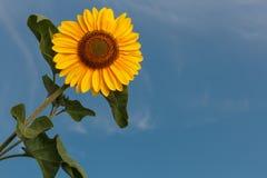 Słonecznikowy okwitnięcie Obrazy Royalty Free
