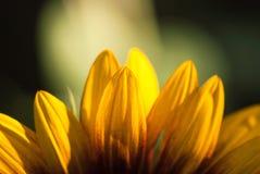 Słonecznikowy płatka zbliżenie z Zielonym tłem Obraz Royalty Free